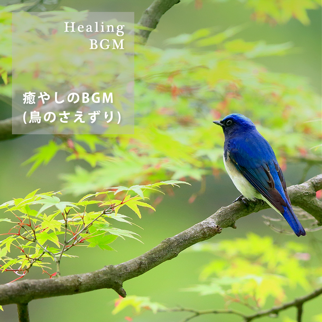 Image of 癒やしのBGM (鳥のさえずり)
